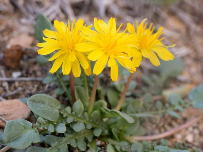 Taraxacum Aphrogenes (Lisa Williamson)