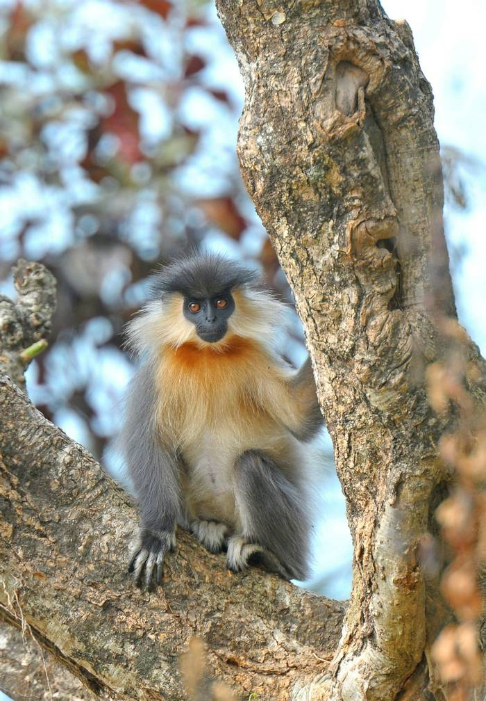 Capped Langur, Assam, India shutterstock_687411844.jpg