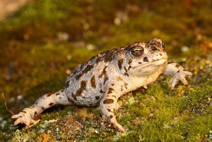 Natterjack Toad (David Morris)