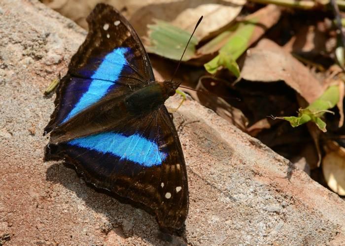 Laurentia Emperor Butterfly (Stephen Woodham)