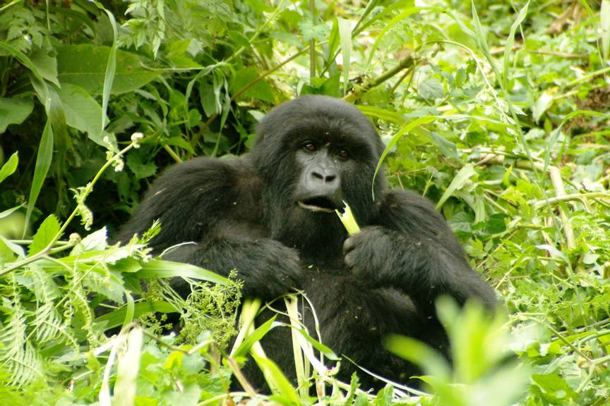 Silver back gorilla sited whilst trekking with Oasis Overland