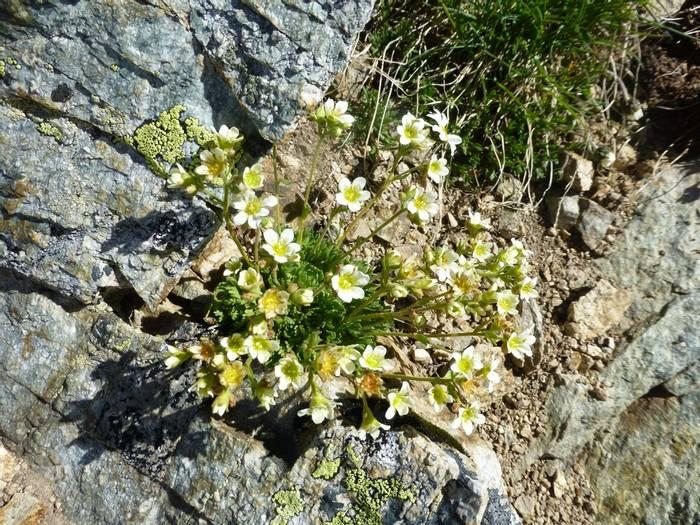Saxifraga paniculata (Kerrie Porteous)