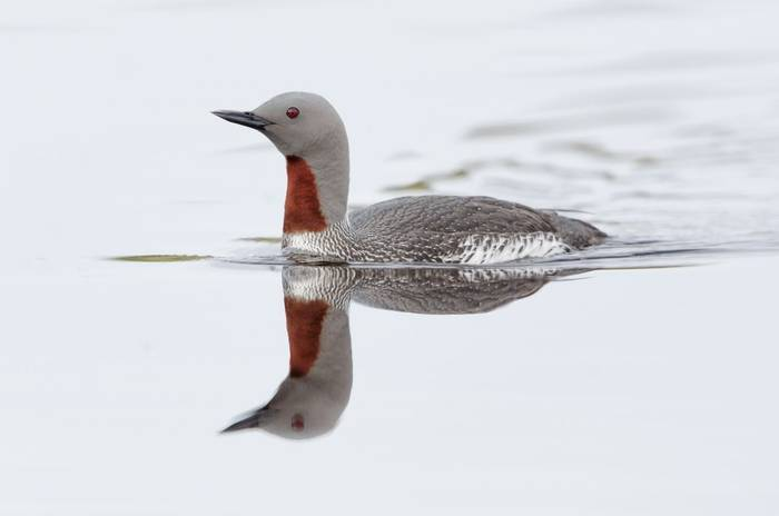 Red-throated diver. shutterstock_116488147.jpg