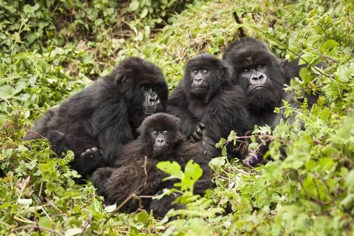 Gorillas, Uganda