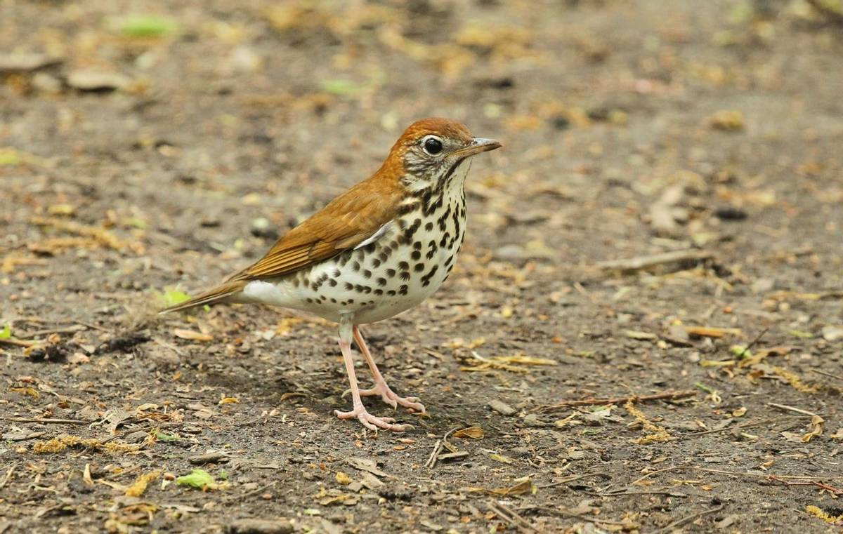Wood Thrush (James Lees)
