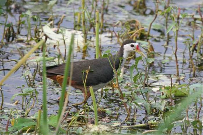 White-breasted Waterhen (Julian Thomas)
