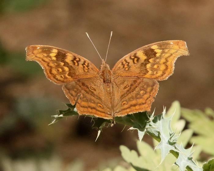 Golden Pansy (Junonia chorimene).jpeg
