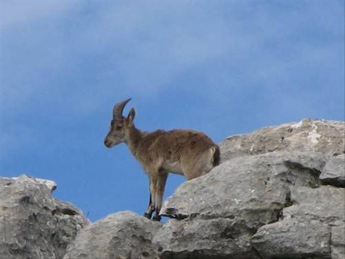 Female Iberian Ibex (Paul Harmes)