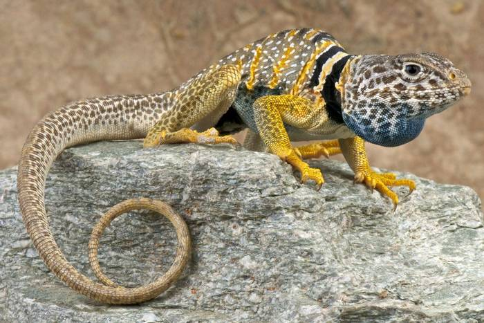 Great Basin Collared Lizard (Crotaphytus bicinctores)