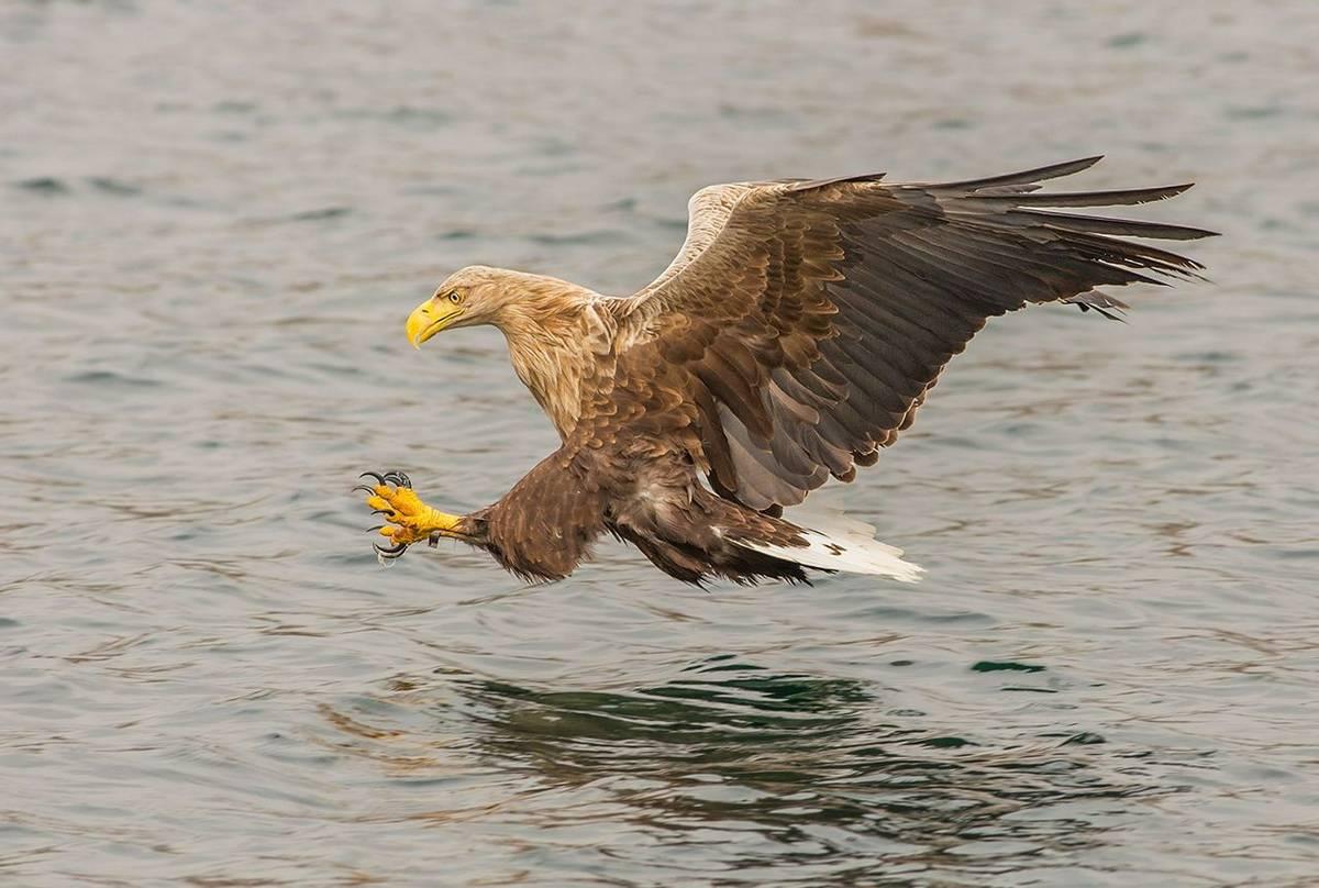 UK17 289 White Tailed Sea Eagle (Haliaeetus Albicilla), Loch Na Keal, Mull