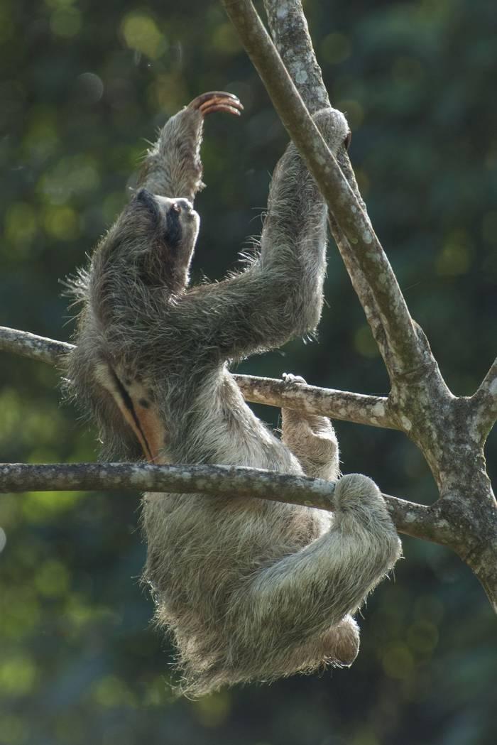 Three-toed Sloth (Tarina Hill)