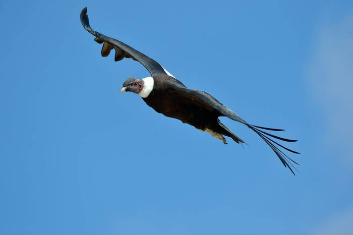 Andean Condor shutterstock_172058192.jpg