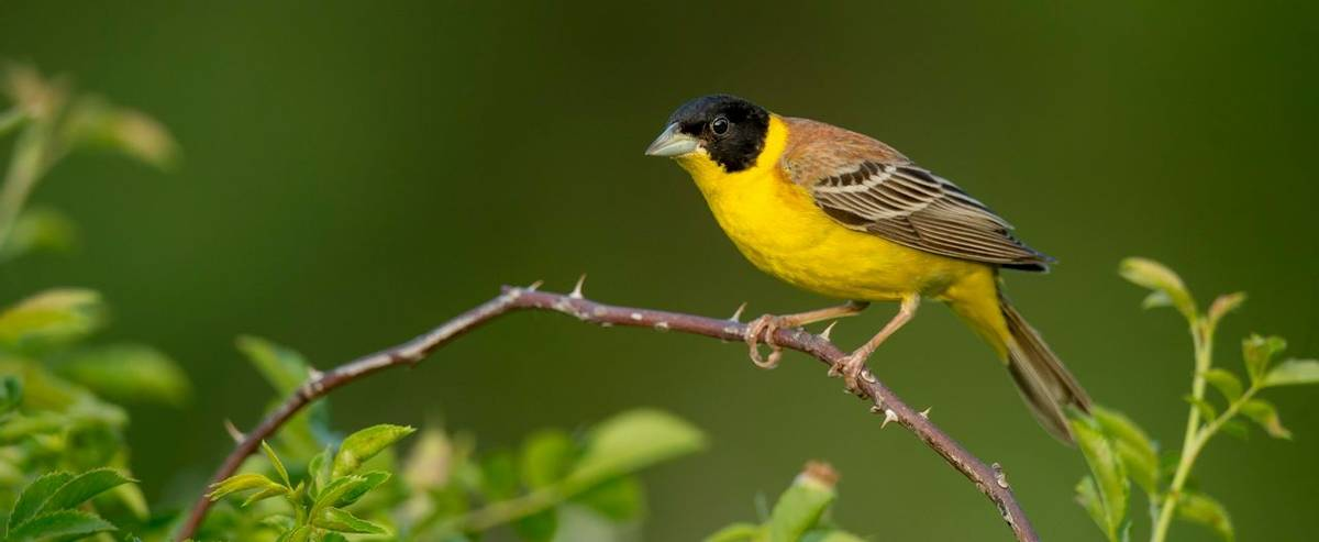 Black Headed Bunting Shutterstock 1111839038
