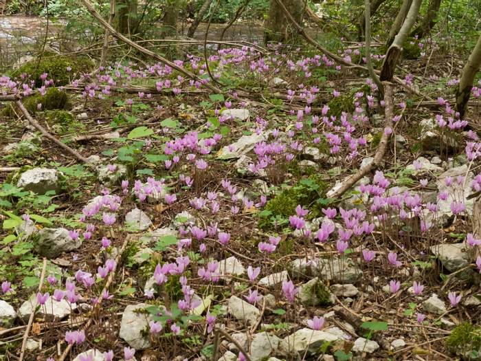 Cyclamen at Gole di Sagittario