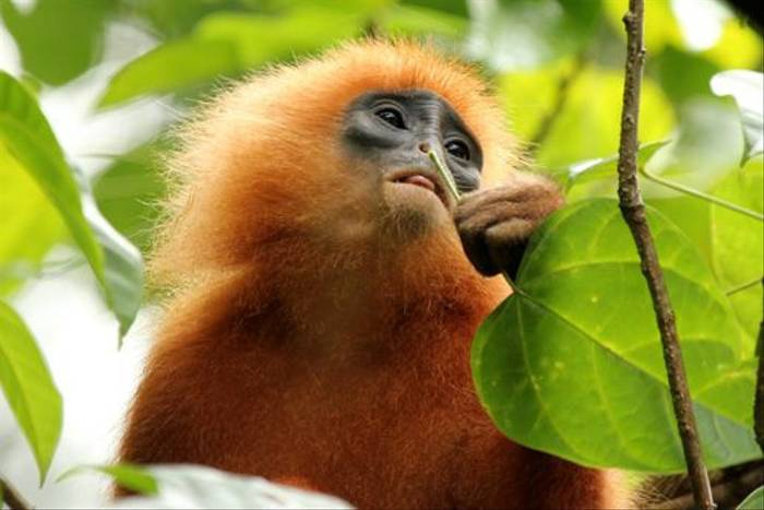 Red Leaf Monkey (Janice Fiske)