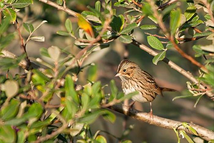 Lincoln's Sparrow (Paul Stanbury)
