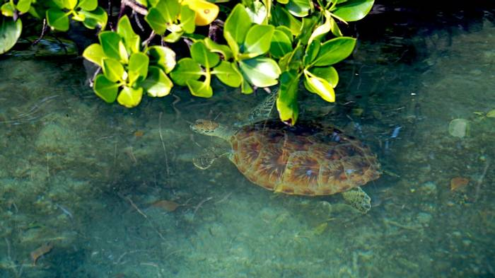 Green Sea Turtle, Aldabra, Seychelles Shutterstock 663582472