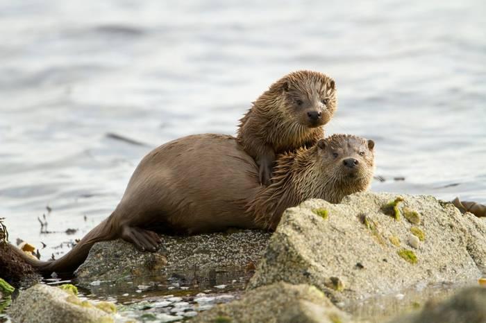 European Otters
