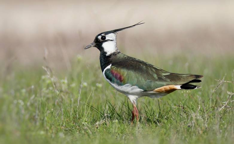 Wildlife - Lapwing - AdobeStock_168664700.jpeg
