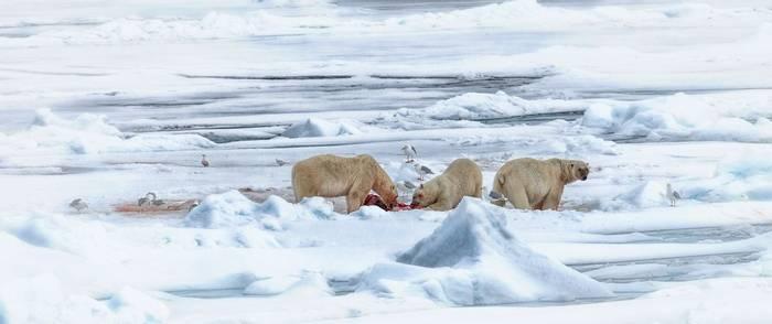 Polar Bears (Peter Stott).jpg