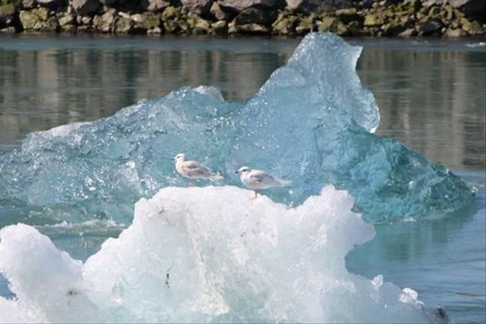 Iceland Gulls, Jokulsarlon (Kerrie Warburton)