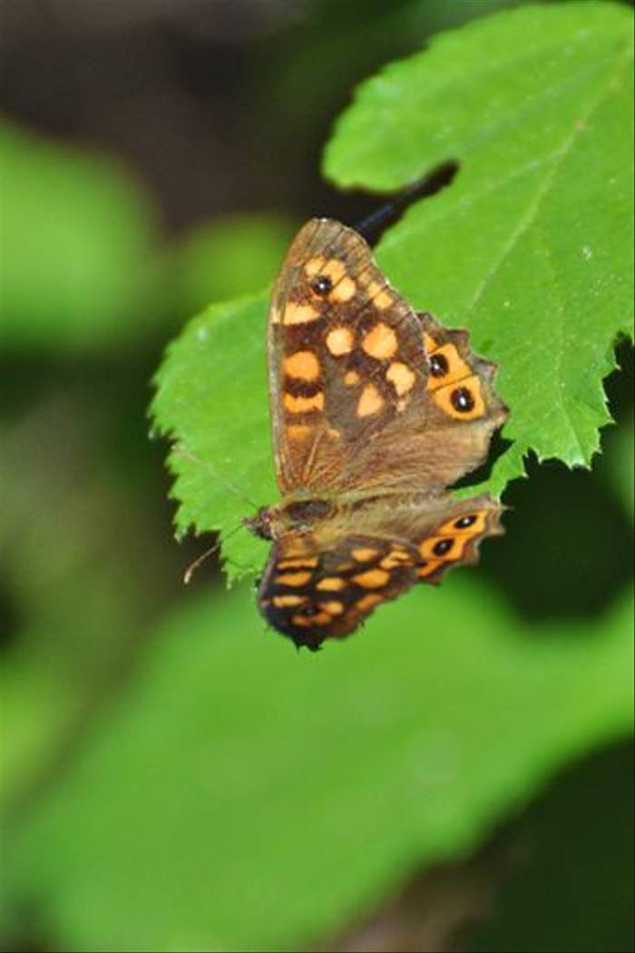 Southern Speckled Wood (Stuart Elsom)