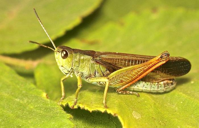 Stauroderus scalaris - a grasshopper species (Alan Outen)