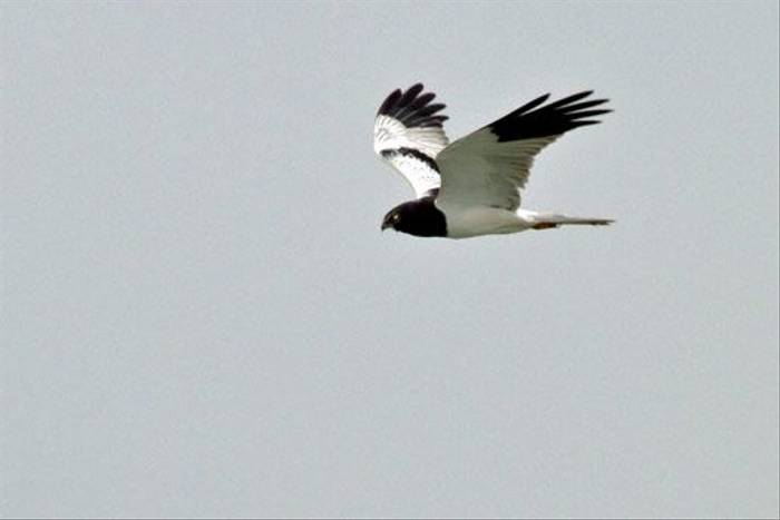 Pied Harrier (Wendy Ball)