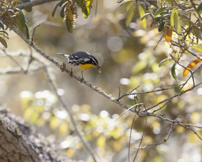Yellow Throated Warbler Shutterstock 657265195