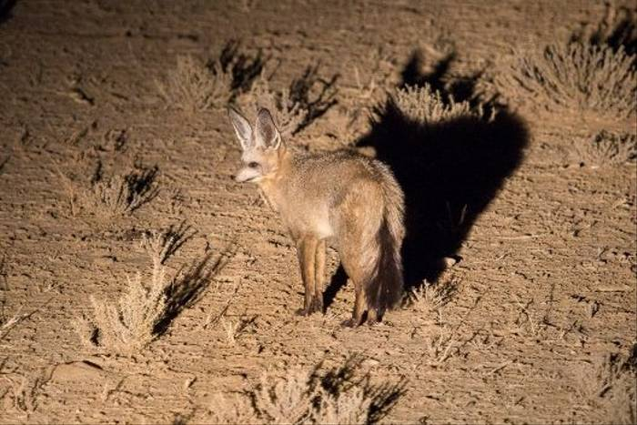 Bat-eared Fox (John Davies)