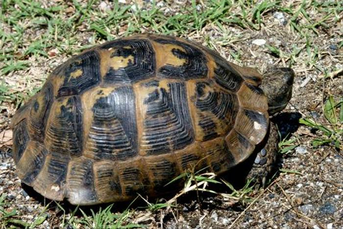 Spur-thighed Tortoise (Dave Smallshire)