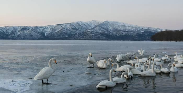 Whooper Swans Lake Kussharo