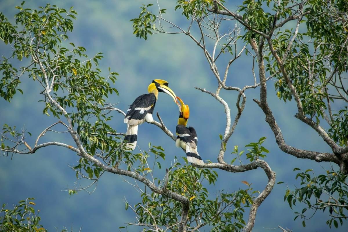 Great Hornbills Shutterstock 728169106