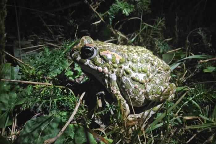 Green Toad (Jon Stokes)