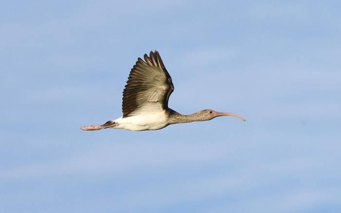 White Ibis (Aransas NWR)