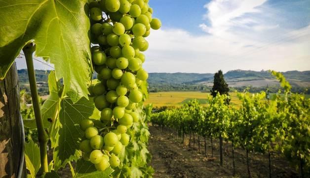 Vineyard on sunset.