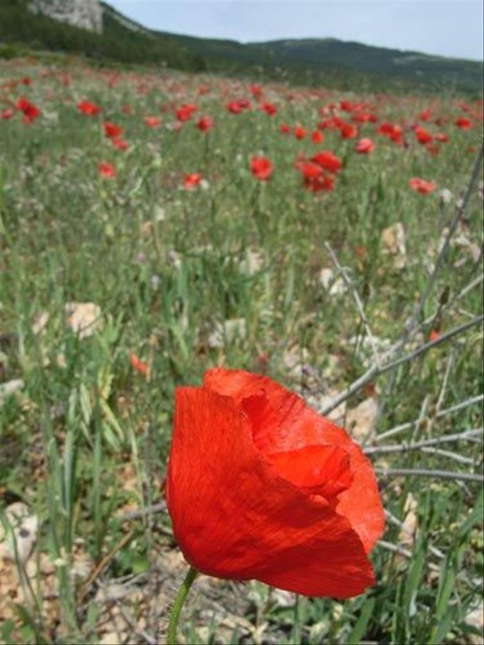Poppy field (Toby Abrehart)