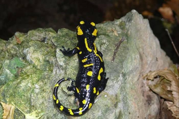 Fire Salamander (Roy Taylor)