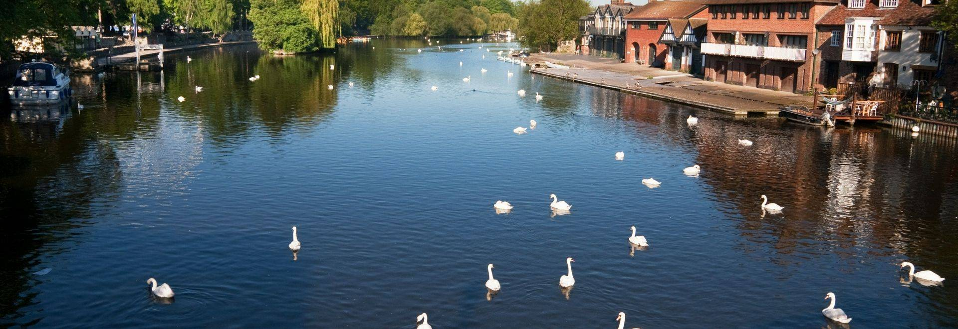 Swans on the River Thames between Windsor and Eton, taken from Eton Bridge looking East towards the Windsor Wheel.