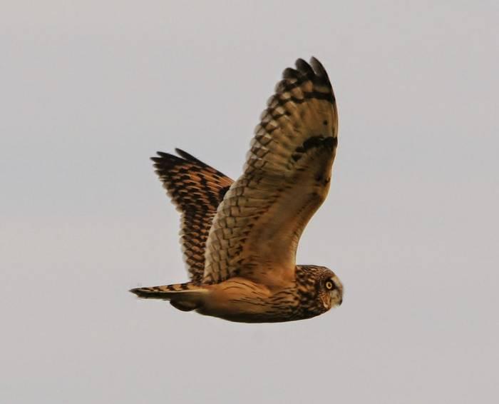 Short-eared Owl (Matt Eade).jpg