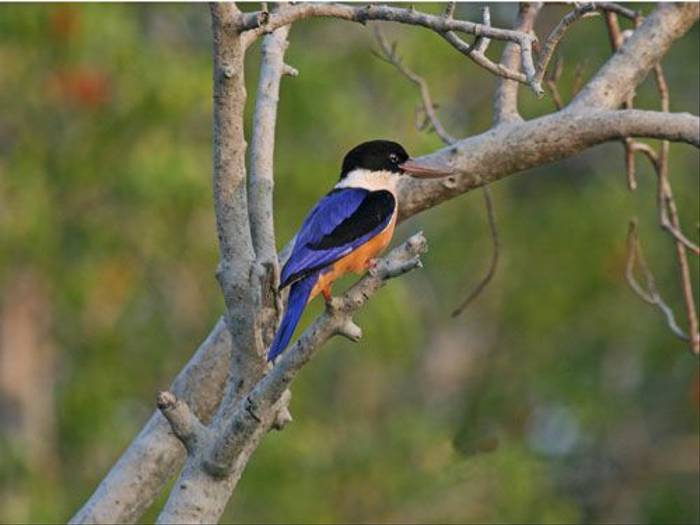 Black-capped Kingfisher (Wendy Ball)