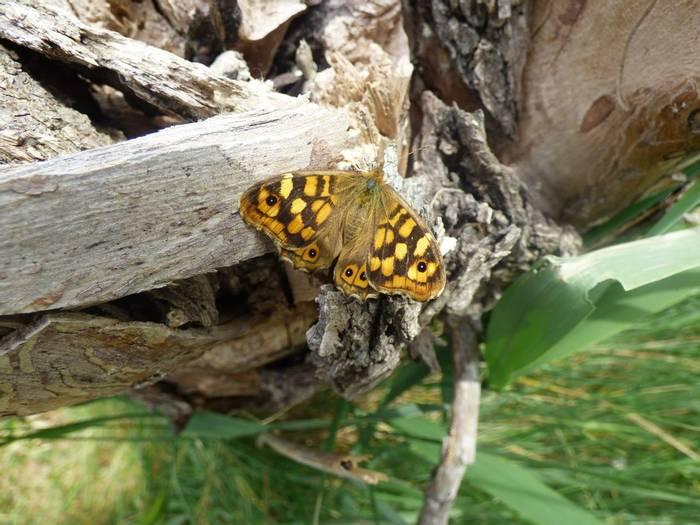 Wall Butterfly (Debbie Hart)
