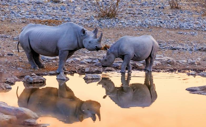 Rhinocéros au point d'eau
