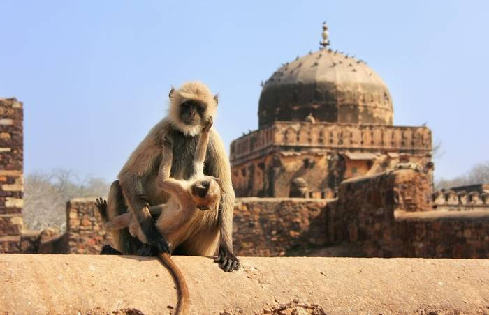 Grey Langur, Ranthambore Fort, Ranthambore National Park, India  shutterstock_206567290.jpg