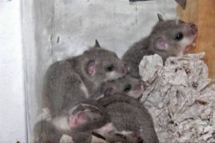 Familly of Edible Dormice (Roy Taylor)