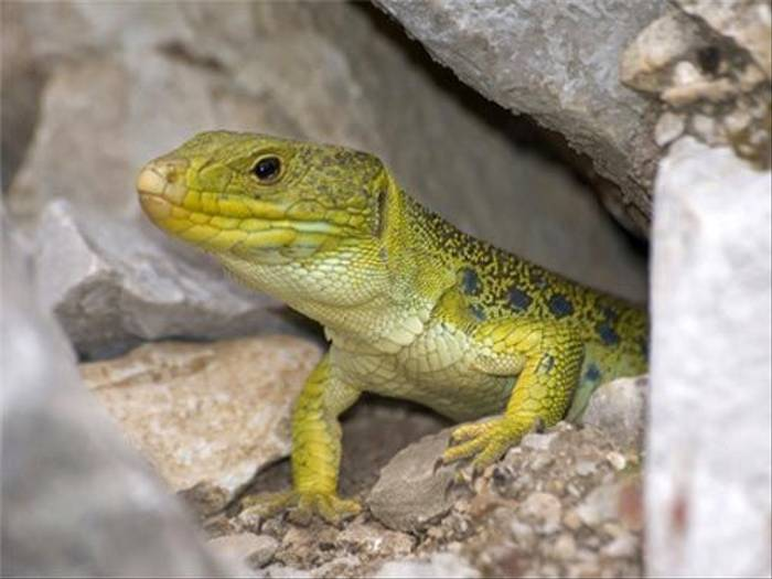 Ocellated Lizard (Matt Hobbs)