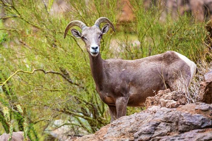 Desert Bighorn Sheep, Arizona Shutterstock 1131307109