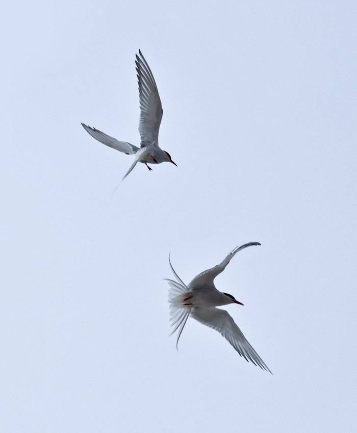 Arctic Terns (Robin Couchman)