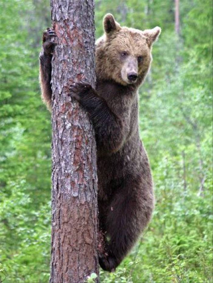 Brown Bear climbing