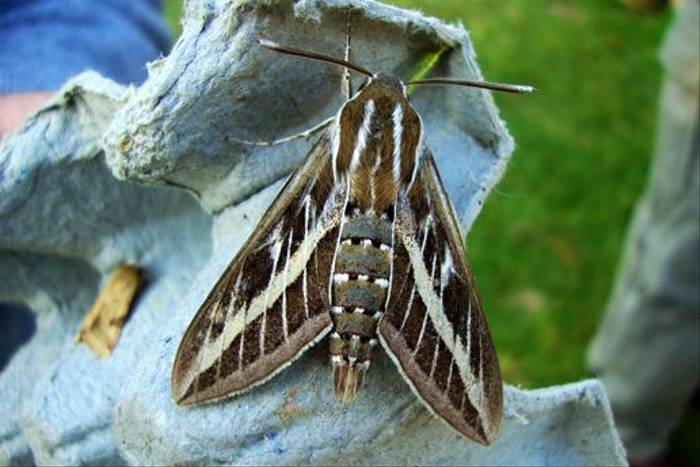 Striped Hawk-Moth (Stuart Elsom)
